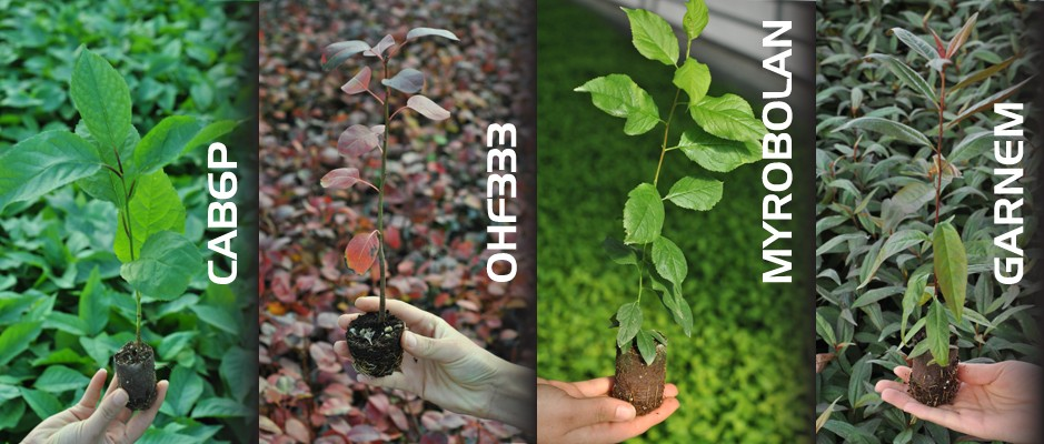 HIGH QUALITY CERTIFIED ROOTSTOCKS